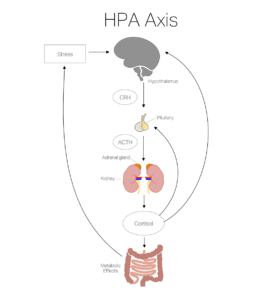 https://bellalindemann.com/adrenal-fatigue-ibs/hpa-axis-diagram/